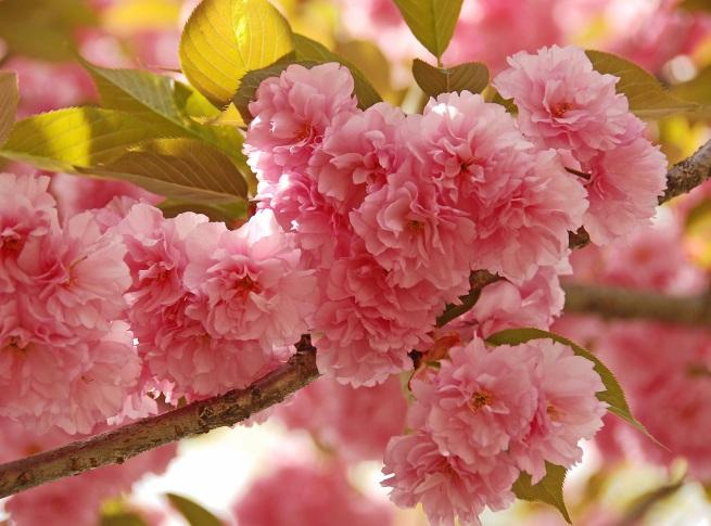 CherryBlossomBunchResize
