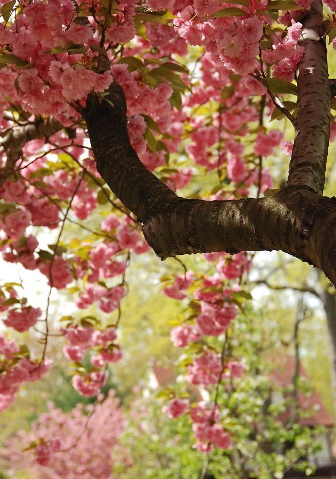 CherryBlossonBranchRESIZE