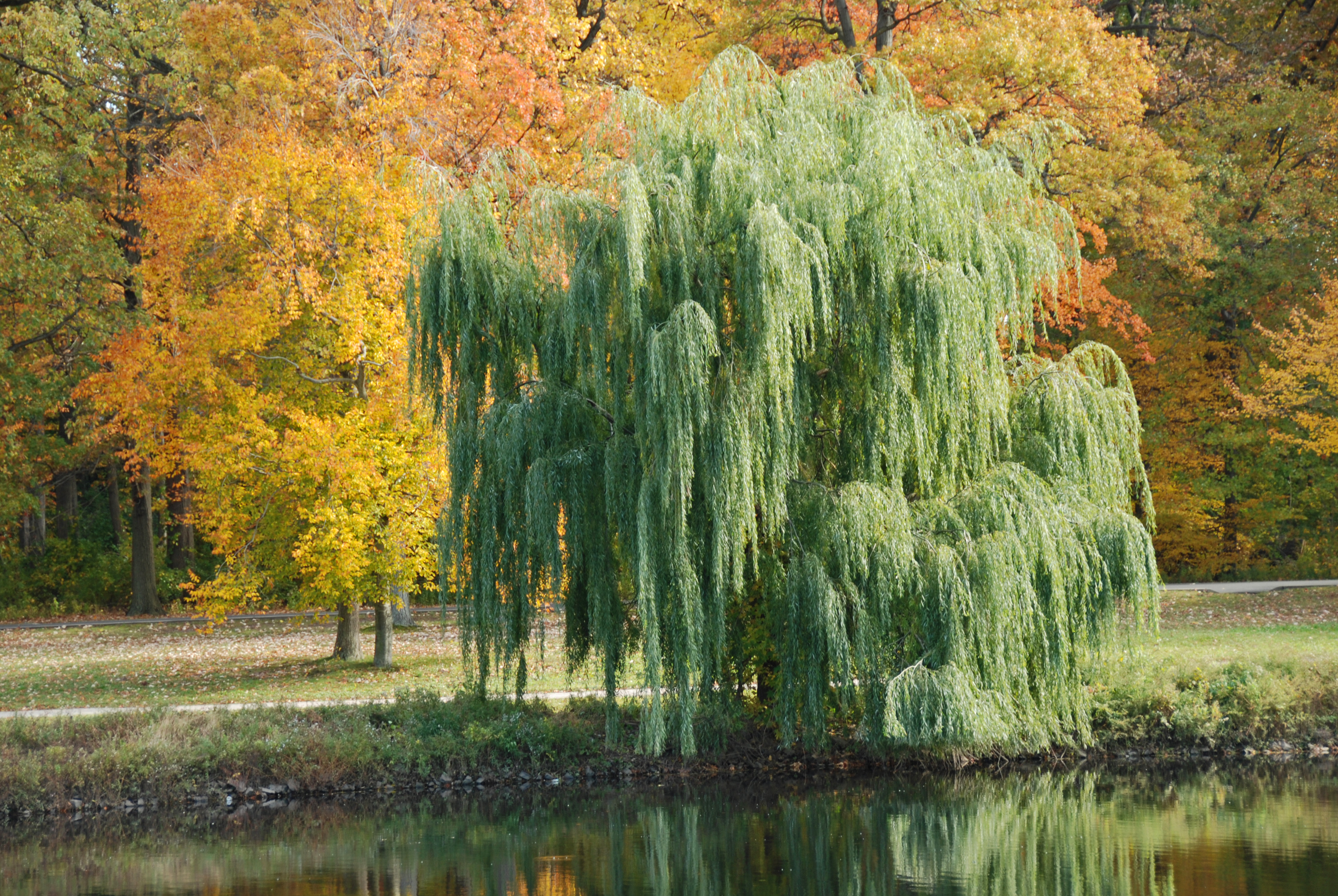 weeping willow tree weeping willow tree drawings weeping willow ...