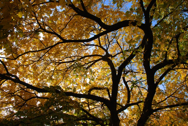 trees-upshot-yellow-leaves
